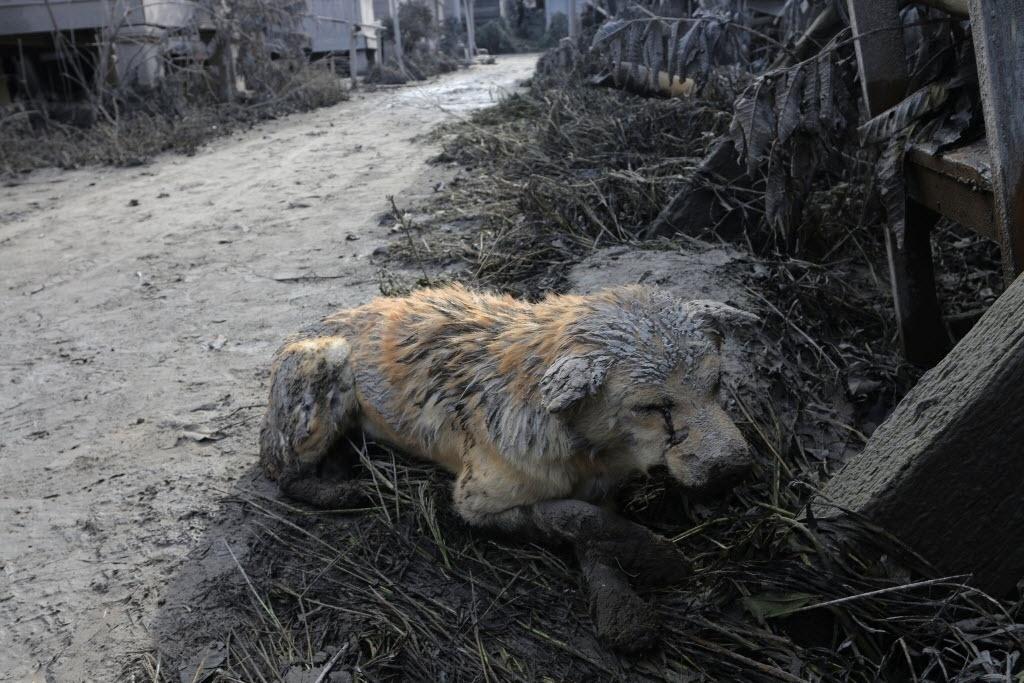 22.mai.2016 - Um cão fica coberto de cinzas após erupção do vulcão Sinabung, na Indonésia