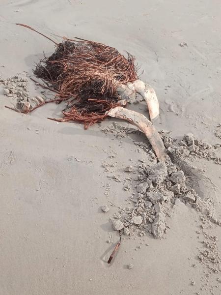 De ossada gigante encontrada, restaram apenas poucos ossos na praia - Reprodução/Arquivo Instituto Biopesca