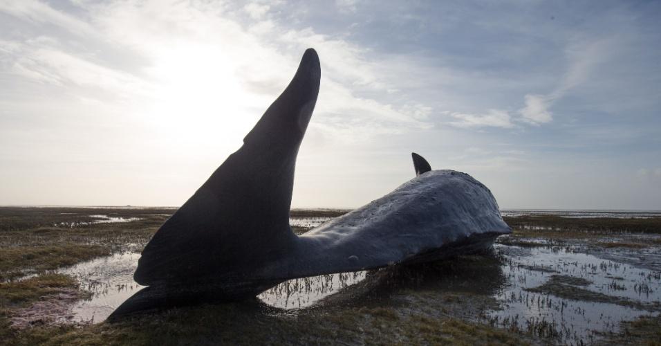 3.fev.2016 - Baleia morta aparece em praia do mar de Wadden, no norte da Alemanha. Oito baleias foram encontradas mortas na costa da região