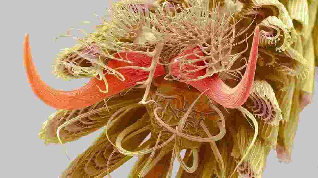Ampliação dos filamentos presentes na ponta da pata de um mosquito - Steve Gschmeissner