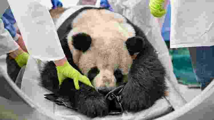 O panda Jiao Qing, do zoo de Berlim - Zoo Berlin/AFP - Zoo Berlin/AFP