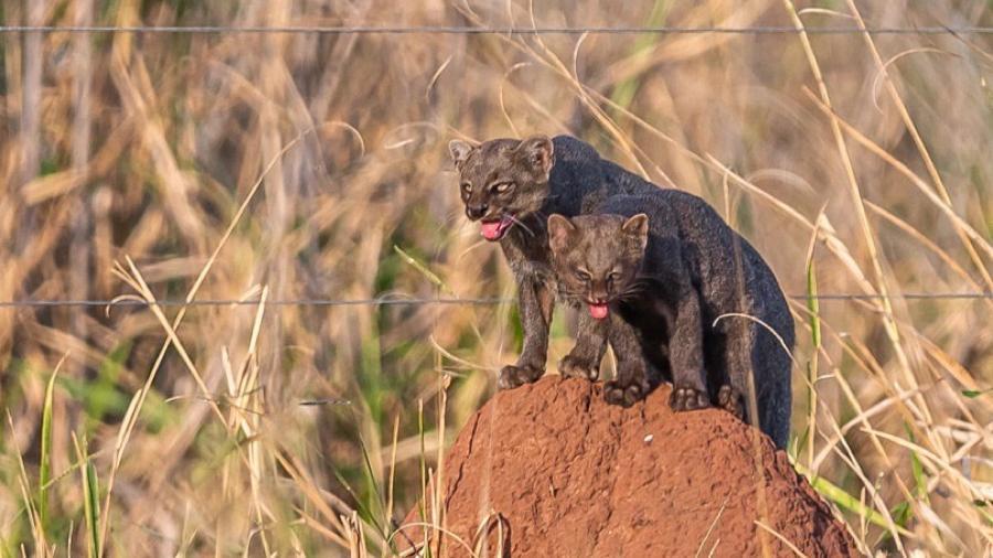 Gato-mourisco e filhote em rara aparição na presença de humanos, no Pantanal de MS - Reprodução/ Edir Alves/ Fazenda San Francisco
