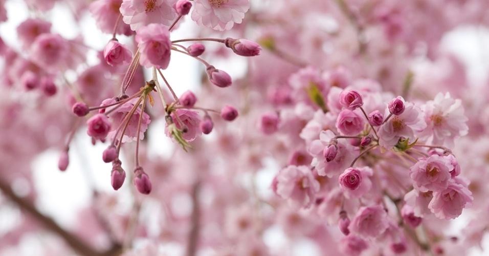 28.mar.2016 - Galhos floridos de uma cerejeira. O desabrochar das cerejeiras ocorre na primavera, e muitas cidades fazem festas em comemoração