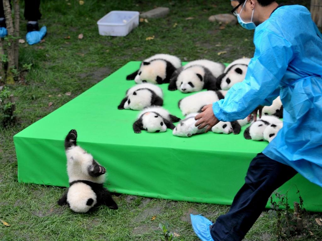 29.set.2016 - Um grupo de 23 filhotes de panda nascido em 2016 foi colocado em um palco para ser apresentado ao público em Chengu, na China. Um deles escorregou do palanque e acabou caindo de cabeça no chão. Os animais nasceram na Base de Pesquisa de Reprodução de Pandas Gigantes de Chengdu, na provícia de Sichuan
