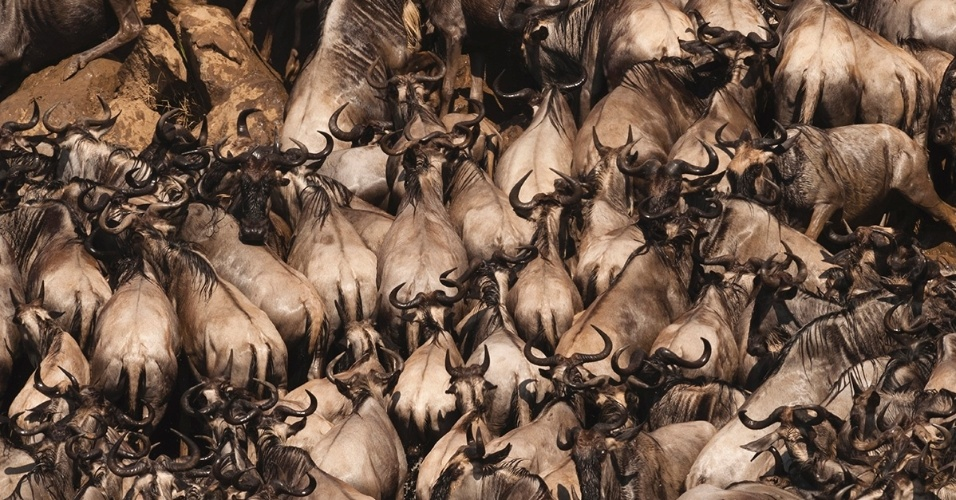 Gnus migram da Tanzânia em direção ao Quênia. Todos os anos, entre julho e outubro, 1,7 mi de gnus fazem este percurso em busca de água e comida