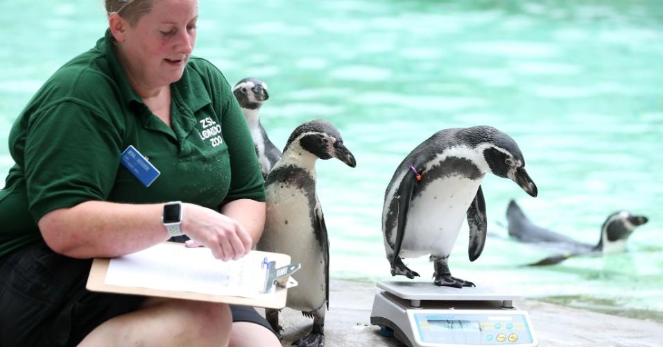 23.ago.2018 -  Pinguim-de-Humboldt é pesado durante o evento anual do Zoológico de Londres