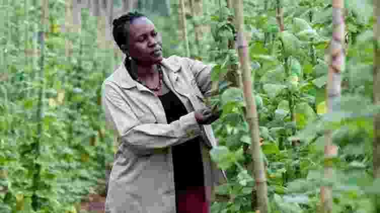 Especialistas em plantas em Uganda estão melhorando os meios de subsistência agrícola no país, introduzindo a agricultores variedades de culturas com melhor resistência à seca e doenças - GEORGINA SMITH / CIAT
