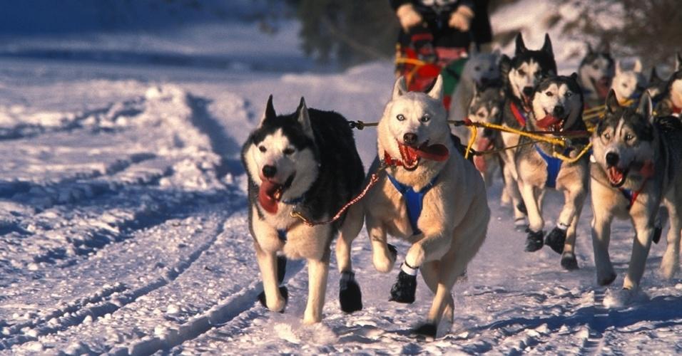 30.nov.2015 - Huskies siberianos puxam um trenó pelo território canadense de Yukon. O primeiro time de huskies siberianos, conhecidos pela resistência e velocidade, estreou em 1909 numa corrida no Alasca