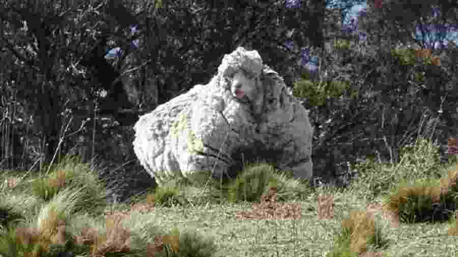 A ovelha australiana Chris foi encontrada em 2015 vagando sozinha com mais de 40 kg de lã - RSPCA ACT/Reuters
