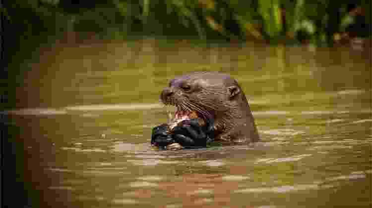 Ainda navegando pela região de Porto Jofre, o fotógrafo avistou uma ariranha. Ela também estava comendo um peixe - Frico Guimarães/Documenta Pantanal - Frico Guimarães/Documenta Pantanal