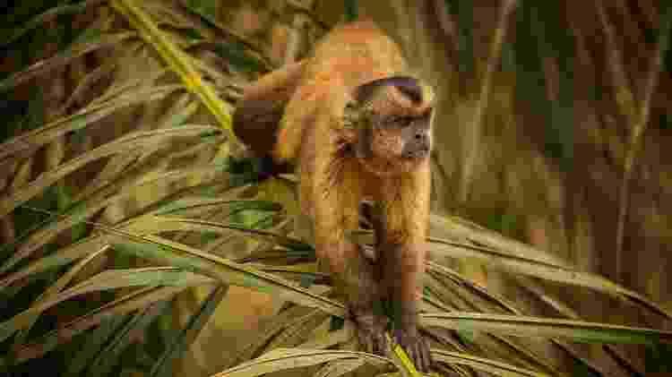 Antes de se aproximar de voluntários para pegar fruta, macaco-prego estava assustado, relata fotógrafo - Frico Guimarães/Documenta Pantanal - Frico Guimarães/Documenta Pantanal