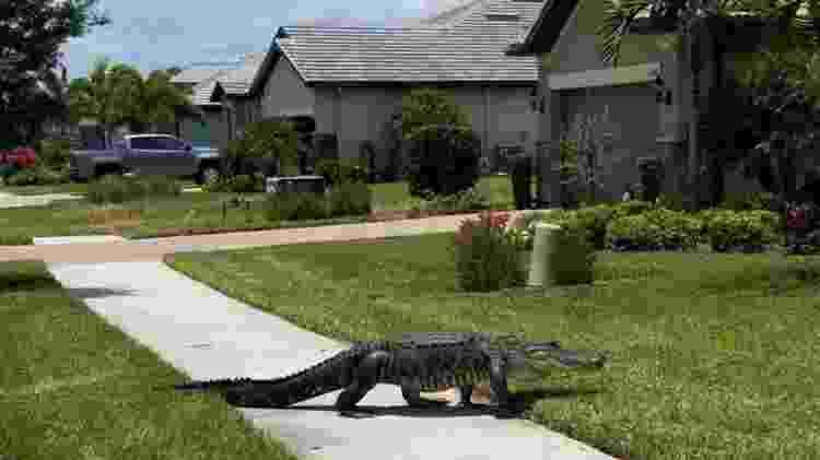 Jacaré primeiro deu uma volta na grama antes de ir até a porta da casa  - Mike Ninowski/Reprodução - Mike Ninowski/Reprodução