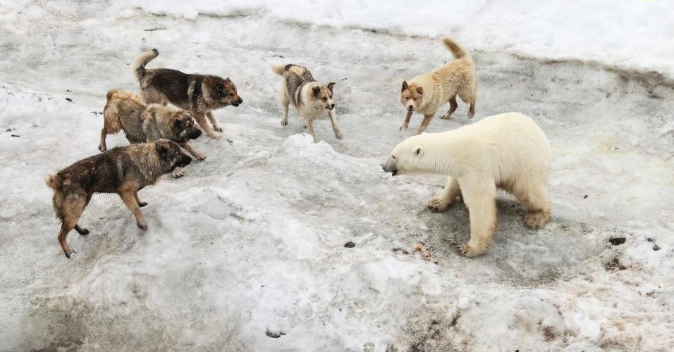 Esta batalha entre cães e um urso polar em ilhas ao norte da Rússia é uma clara representação das mudanças climáticas. O aquecimento global provoca situações em que ursos polares são obrigados a invadirem áreas de ocupação humana em busca de comida. Já os moradores compram cães para se proteger contra os ursos
