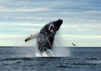 North Atlantic Humpback Whale Catalog/The New York Times