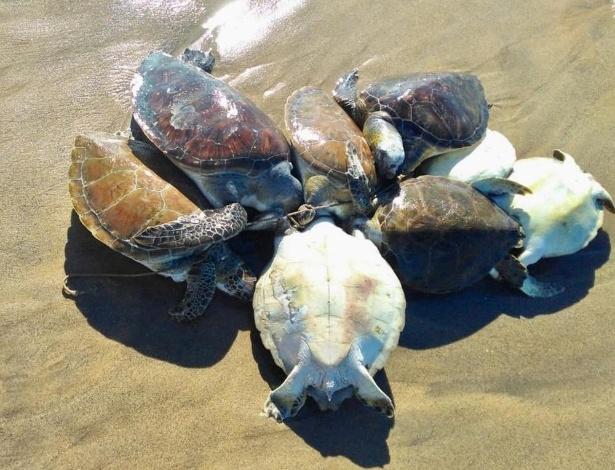 Oito tartarugas foram encontradas amarradas pelo pescoço em praia de Búzios  - Bebeto Karolla-Folha de Búzios