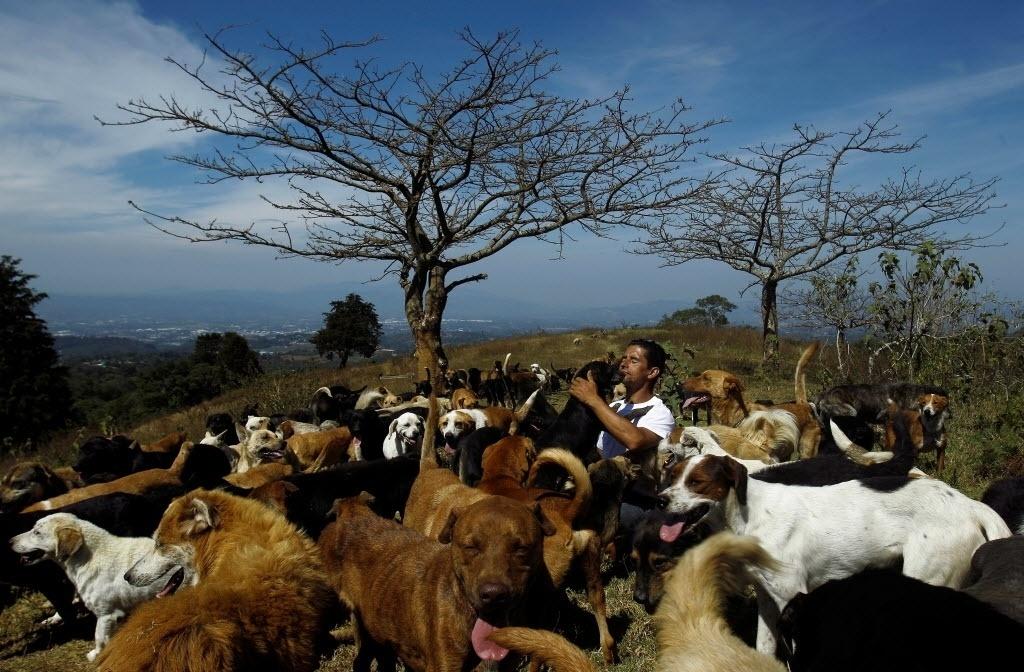 29.abr.2016 - Um cuidador chamado Alvaro Saumet brinca com cachorros em um santuário para cães em Carrizal de Alajuela, na Costa Rica. Centenas de animais correm livres pelas terras do local, que é considerado como o abrigo mais feliz do mundo para cães de rua