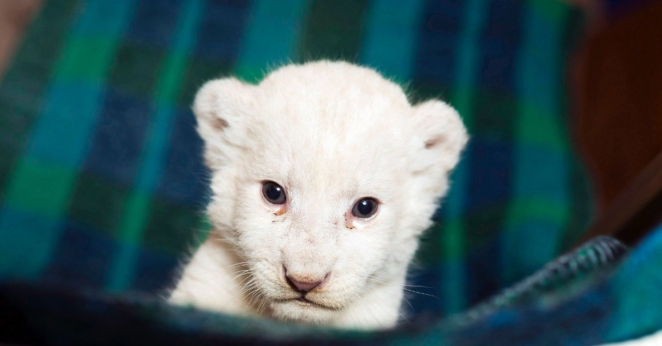 28.set.2016 - Filhote fêmea de leão sul-africano com cinco semanas de vida, é apresentado no jardim zoológico de Nyiregyhaza, na Hungria