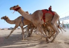 Dubai abre um hospital exclusivo para camelos - Yasser Al-Zayyat/ AFP