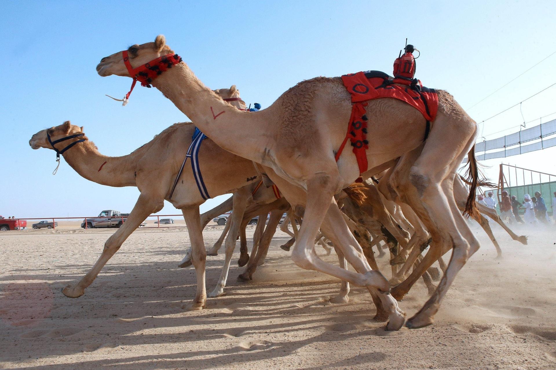 15.out.2016 - Diferente do que estamos acostumados no Brasil, em Kabad, no Kuwait, pessoas assistem corridas de camelos, treinados exclusivamente para as competições