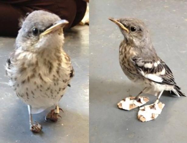 17.out.2016 - O Centro de Vida Selvagem da Califórnia (EUA) resgatou um pequeno passarinho que tinha as patas tortas e mal conseguia ficar de pé. Os veterinários criaram uma espécie de sapato em formato de raquetes para que ele pudesse caminhar enquanto se recupera