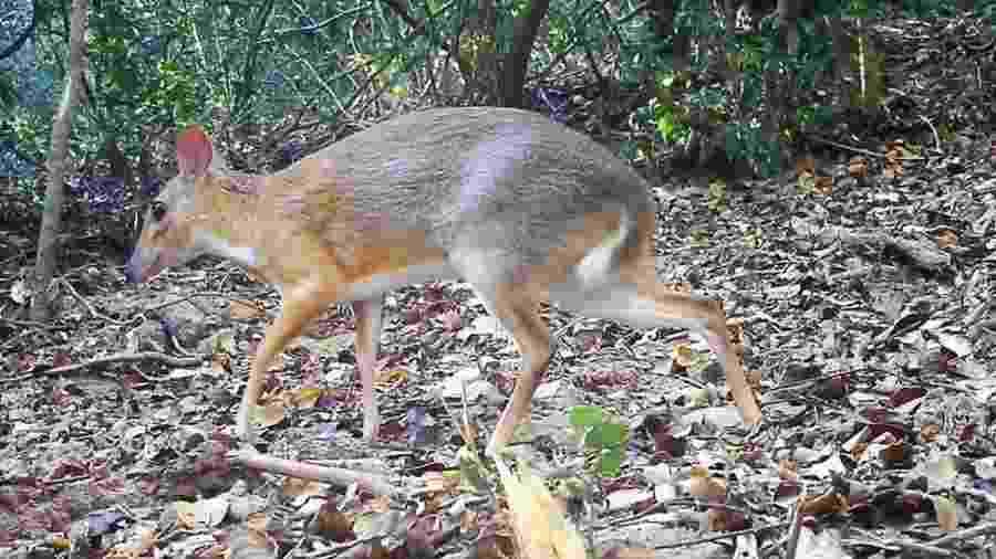 Espécie do cervo-rato foi catalogada pela primeira vez no início do século 20. Sua última aparição havia sido registrada em 1990 - Global Wildlife Conservation