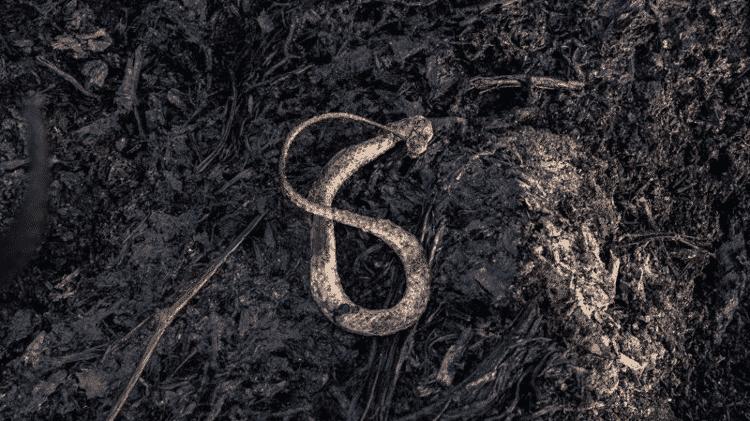 Cobra carbonizada pouco antes da chegada de brigadistas em área do Pantanal - BRUNA OBADOWSKI - BRUNA OBADOWSKI