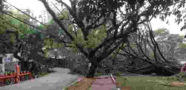 Uma enorme falsa seringueira caída na praça Pôr do Sol, em São Paulo, permanece no local sem remoção quatro dias após a tempestade de quinta-feira (20) - Karina Yamamoto/UOL - Karina Yamamoto/UOL