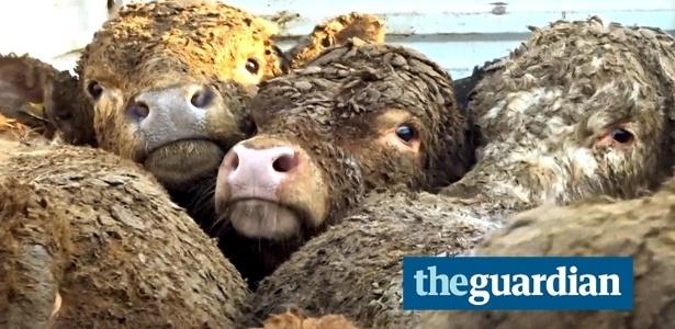 Vacas exportadas pela Irlanda chegam à Turquia cobertas de esterco após 12 dias de viagem