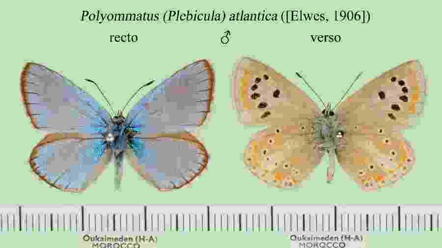 Borboleta Polyommatus atlantica - Divulgação