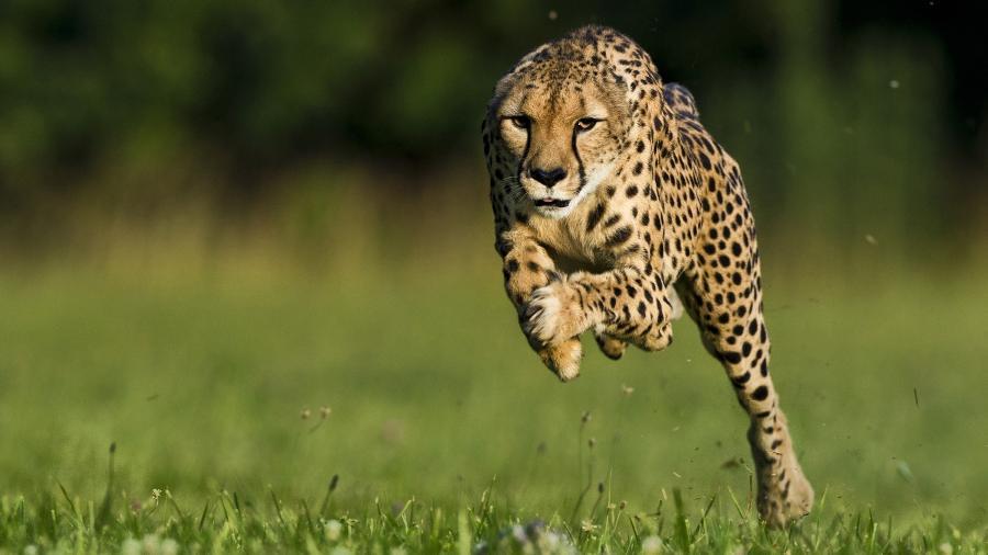 Guepardos atingem mais de 100 km/h, mas não são considerados os mais rápidos do mundo - Ken Geiger/National Geographic Magazine/Reuters