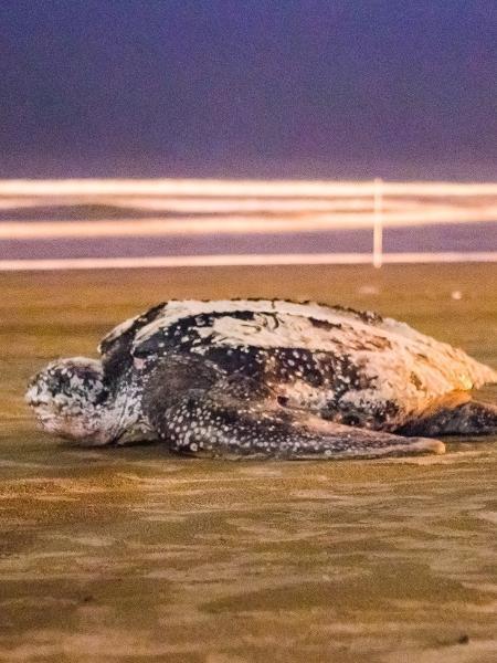 Tartaruga gigante foi vista em Itanhaém - Arquivo pessoal / Nicolas Schuckel