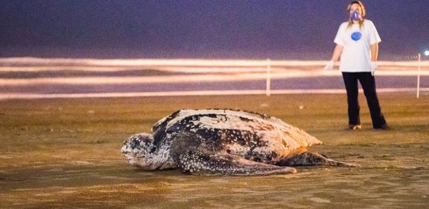 Tartaruga gigante reaparece em praia | Após 2 semanas, animal retornou a Itanhaém para pôr ovos na areia