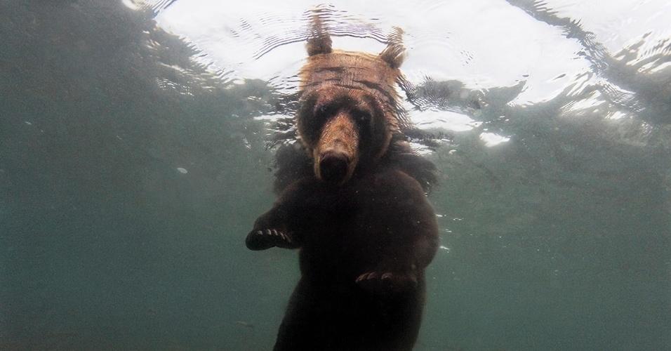 12.nov.2015 - A remota península de Kamchatka, na Rússia, tem uma das maiores migrações de salmão do Pacífico. Agora, o peixe precisa de ajuda. Pretendendo engordar para o inverno, o urso marrom espera o salmão no lago Kurile