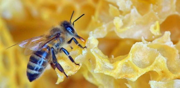 Abelhas criam dependência em pesticidas como humanos se viciam em nicotina