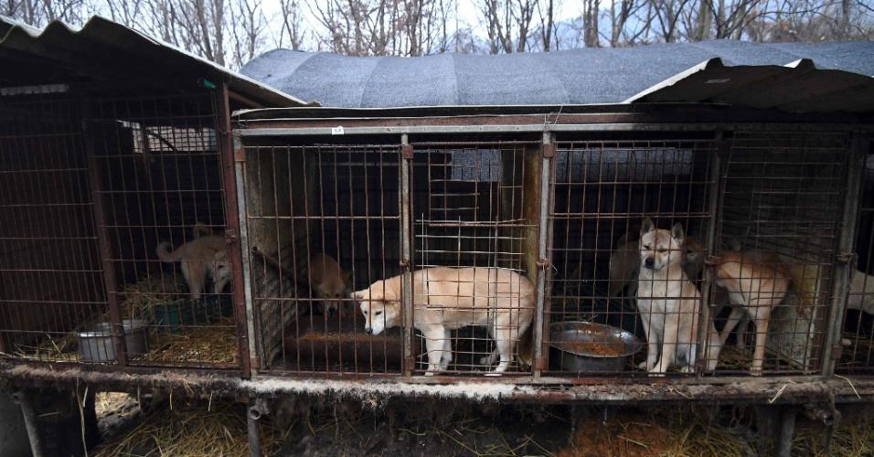 Cães latem quando seus salvadores os tiram das jaulas de uma granja na Coreia do Sul para enviá-los para famílias temporárias ocidentais e assim evitar que acabem em um prato de comida. Ser produtor de carne canina está com as horas contadas no país.