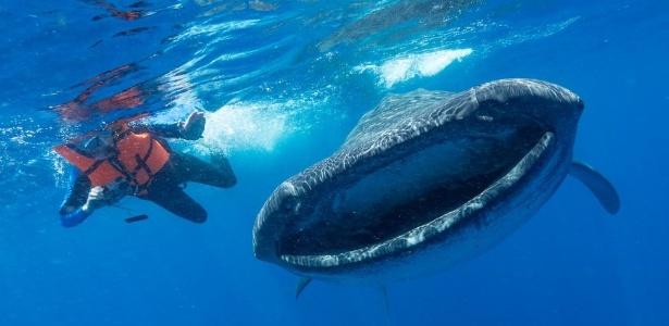 Apesar do tamanho, tubarões-baleia se alimentam por filtragem de pequenos plânctons, crustácios e peixes e, ao engolir água, ingerem também partículas de plástico suspensas