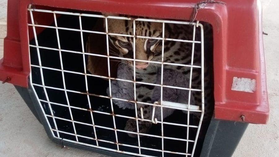 Quando felino começou a crescer e fugiu, a mulher acionou a PM para resgatá-lo - Reprodução/PM