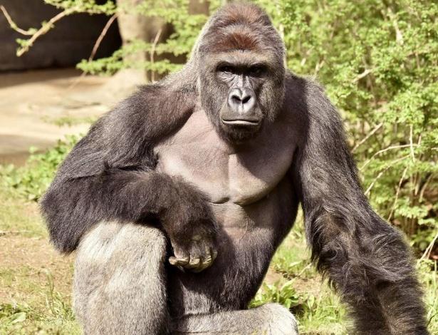 29.mai.2016 - O gorila Harambe, 17, foi morto no zoológico de Cincinnati, EUA, no sábado (28). O animal arrastou uma criança de quatro anos que caiu no seu espaço. Segundo a Reuters, o garoto de quatro anos passou a barreira de proteção e caiu do muro com quase quatro metros de altura que separa os animais dos visitantes e que tem um pouco de água