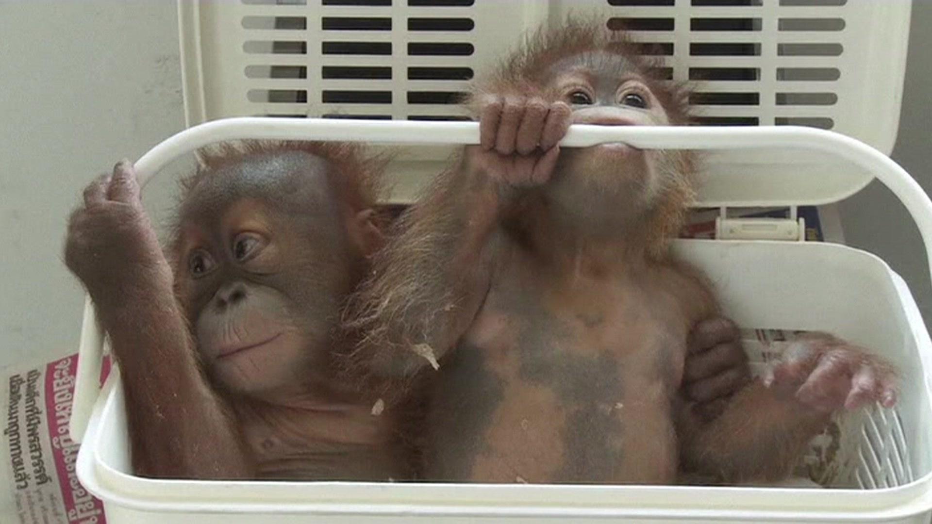 Destino de orangotangos sera venda na internet