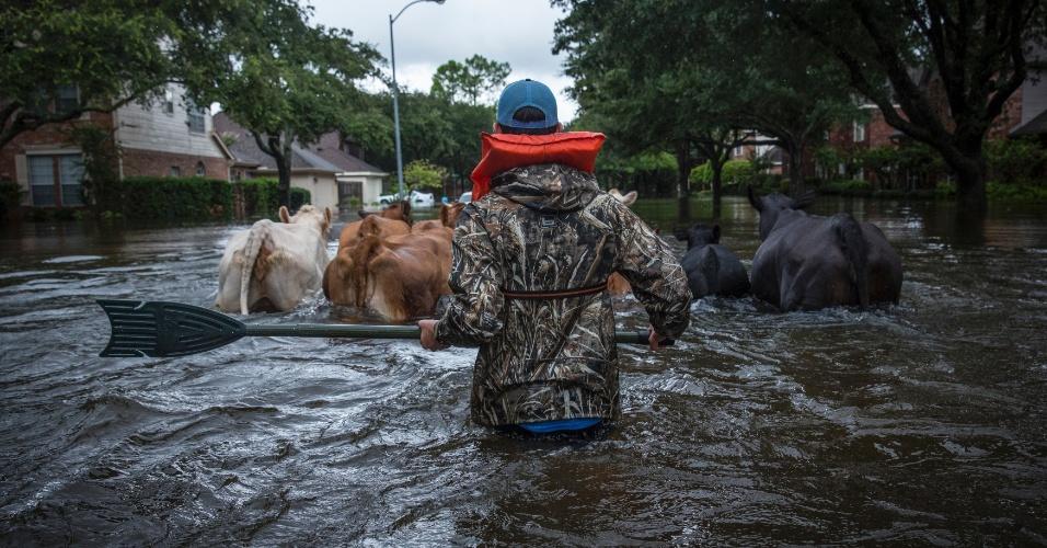 29.ago.2017 - Trey Holladay, parte da equipe de civis que atua no resgate das vítimas, ajuda a retirar o gado de uma das áreas alagadas para um lugar mais alto em Houston