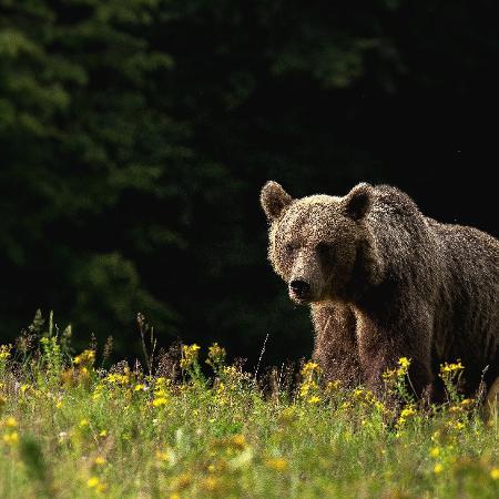 Hoje há 2.700 ursos pardos na Eslováquia - Lajos Berde via The New York Times