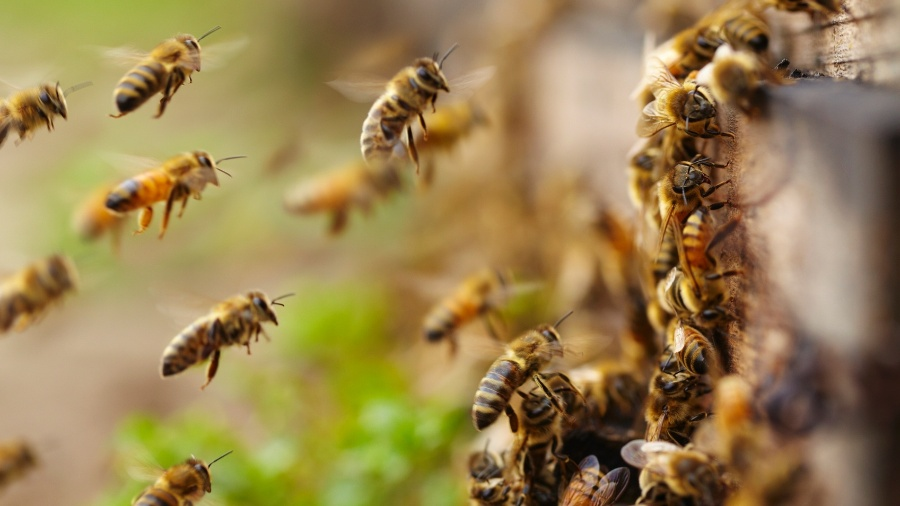 Abelha, abelhas, colmeia, enxame, picadas, mel - Getty Images