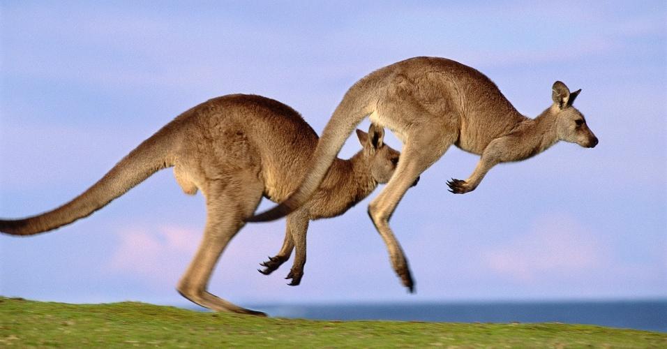 8.ago.2016 - Cangurus cinzas orientais o Parque Nacional Murramarang, Austrália. Estes cangurus estão entre os maiores do mundo e usam as pernas fortes para saltar e se locomover a mais de 50 km/h