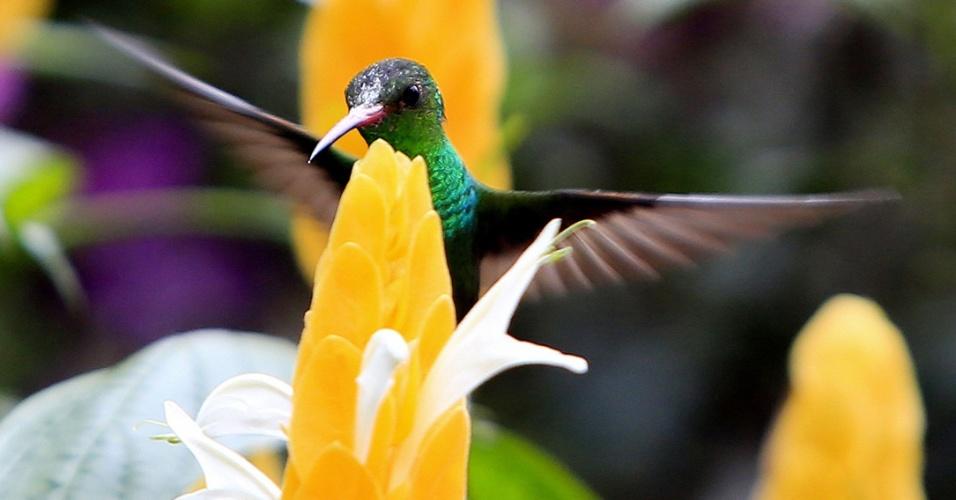 20.set.2016 - Colibri (Trochilinae) voa sobre uma flor, no jardim de Bucaramanga (Colômbia)