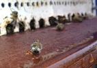 Mel do mundo (e do Brasil) tem pesticidas, e isso coloca abelhas em risco - Blaise Mulhauser/Botanical Garden Neuchâtel