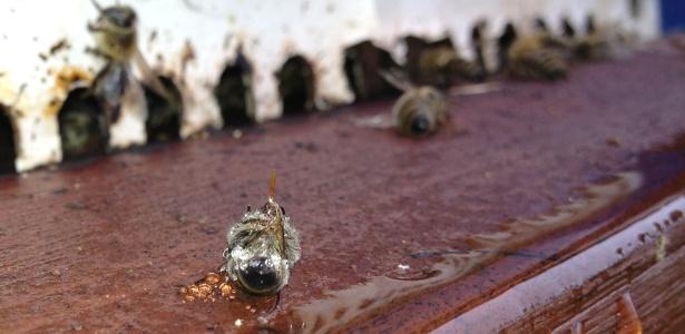 Abelhas mortas utilizadas em estudo; uso de inseticidas está ligado à redução das populações do inseto