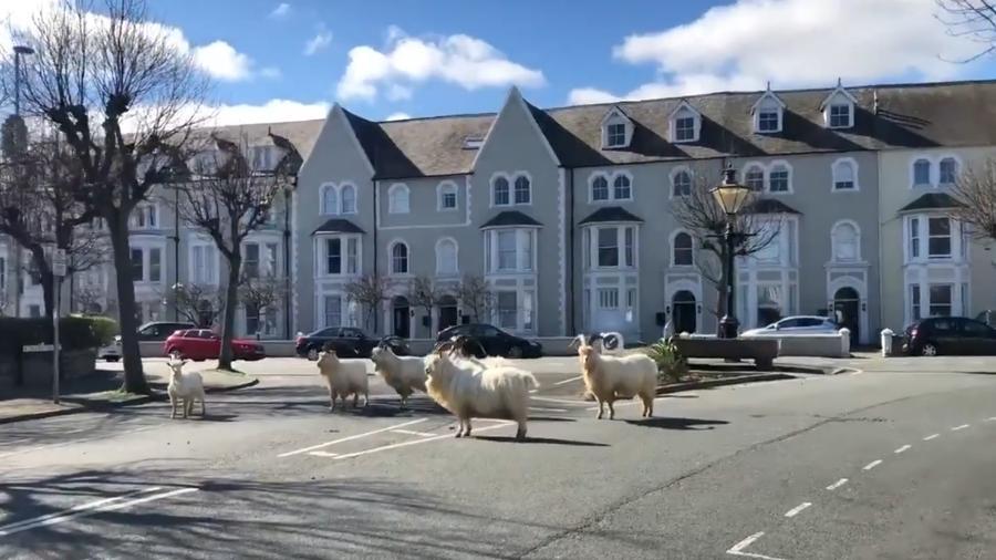 Movimentação das cabras foi registrada na cidade de Llandudno, no País de Gales - Reprodução