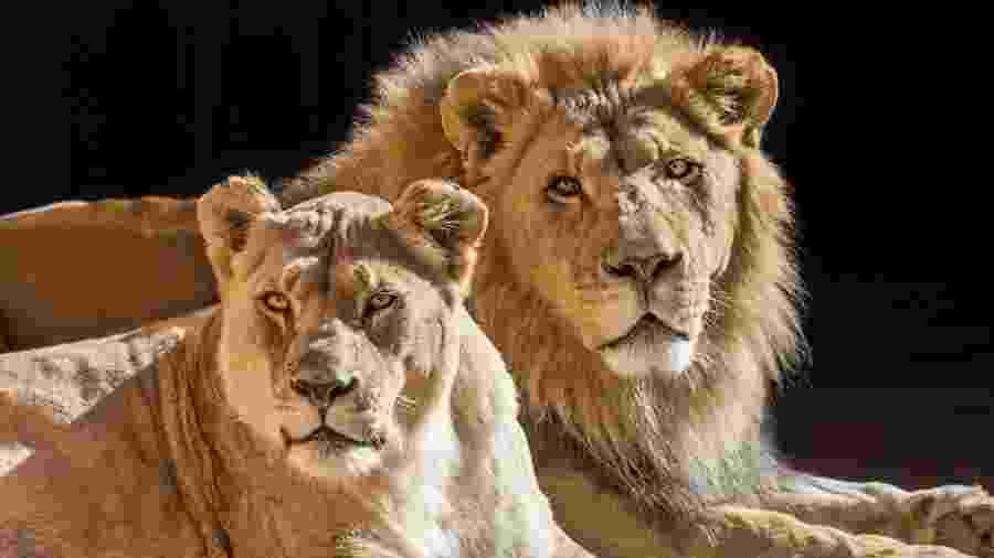 Casal de leões Hubert e Kalisa, do Zoológico de Los Angeles, nos Estados Unidos - Divulgação/L.A. Zoo