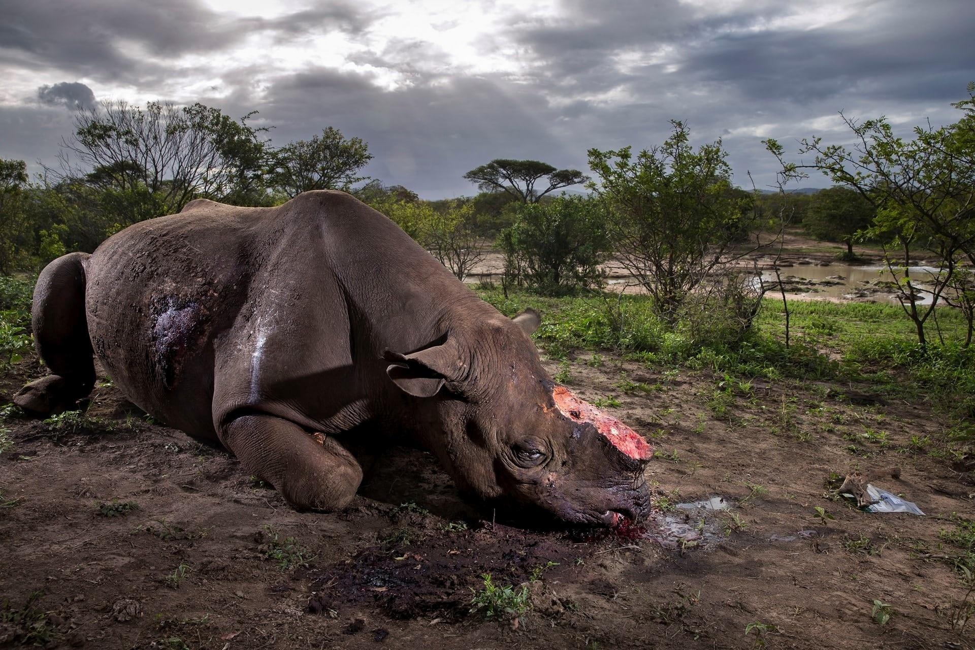 Registrada pelo sul-africano Brent Stirton, a foto retrata o corpo caído de um rinoceronte negro na Reserva Hluhluwe Imfolozi, em seu país. Caçadores clandestinos mataram o animal à noite com um silenciador e arrancaram o seu chifre