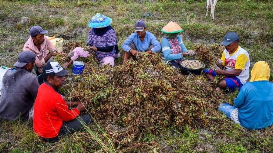Agricultores separam amendoins na província de Sulawesi Central, na Indonésia - Getty Images